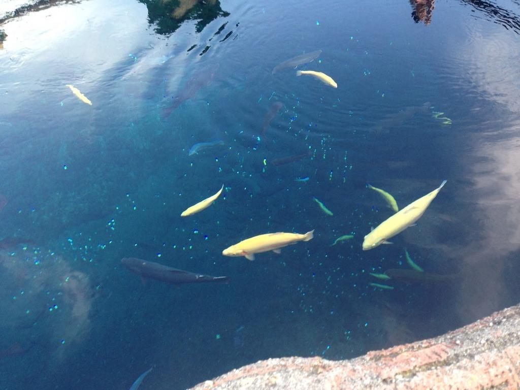 忍野八海の池.jpg
